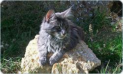La leggenda del gatto Maine Coon
