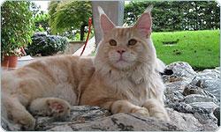 La storia del gatto Maine Coon