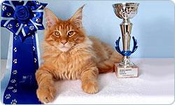 Lo standard del gato Maine Coon