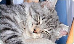 Il carattere del gatto Maine Coon